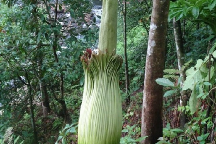 Rare flowers bloom in remote West Sumatra's Agam