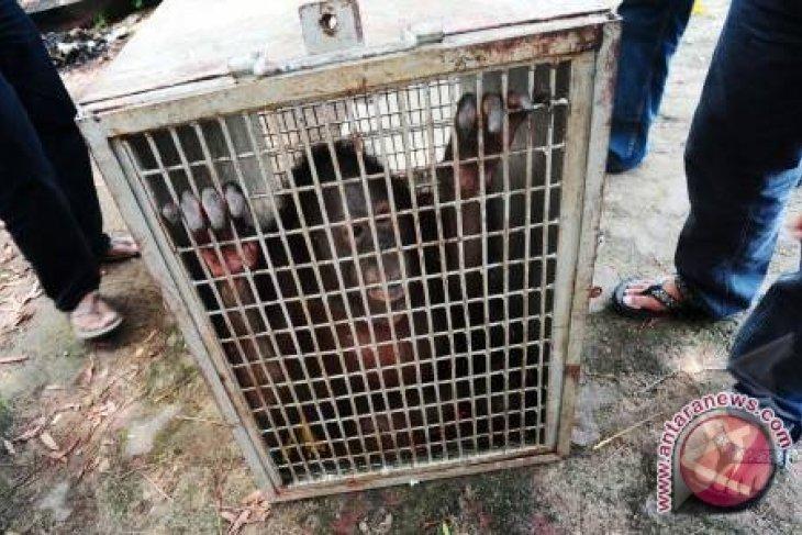 APP-Kemenhut Relokasi Orangutan Ke Habitat Baru
