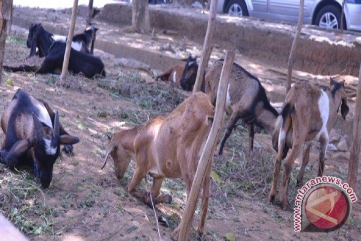 Disnakan Rejanglebong siapkan bantuan ternak kambing
