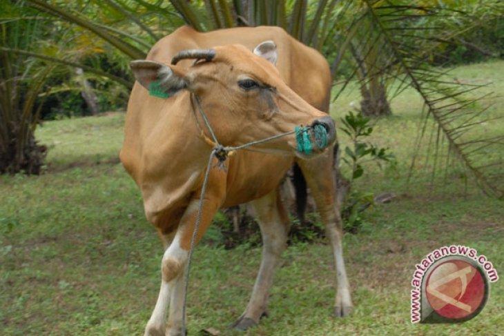 Warga Bengkulu diresahkan pencuri hewan ternak