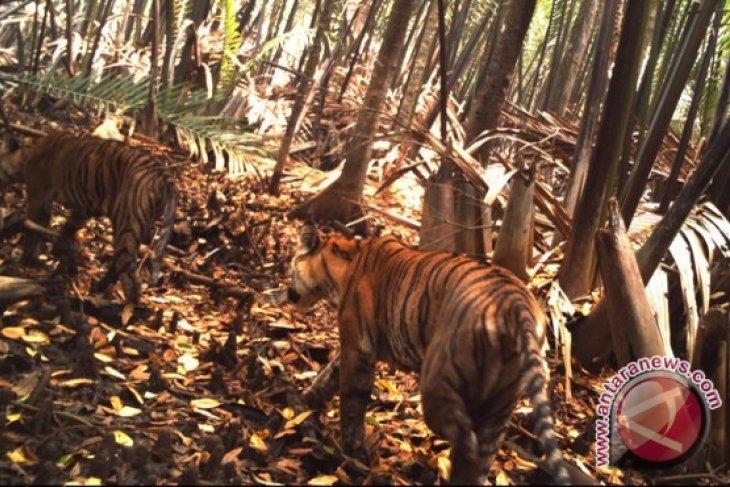 BKSDA Jambi gagal tangkap Harimau di Muarojambi