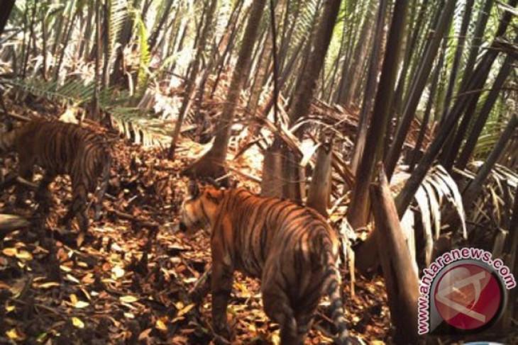 Sumatran tigers breed well in South Bukit Barisan