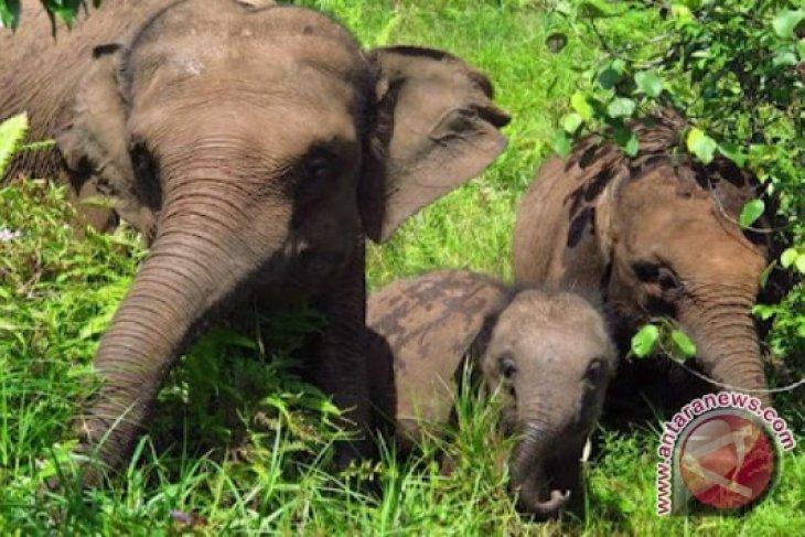 Belasan Gajah Liar Dekati Permukiman Di Bengkulu