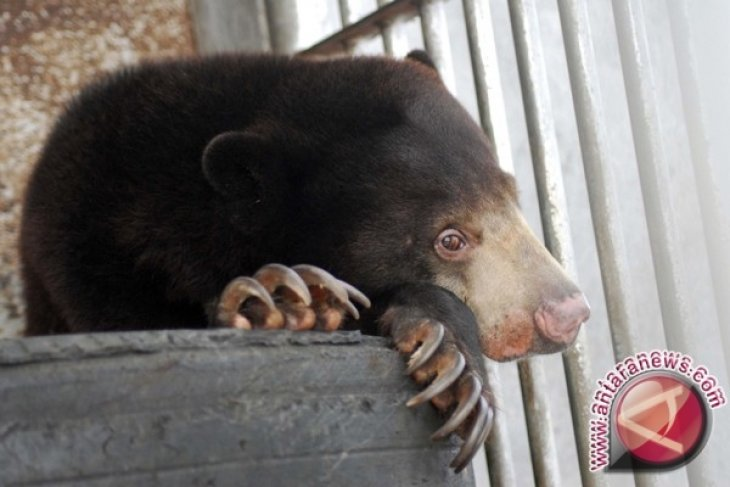At Least 55 Sun Bears Killed for Organ Trafficking