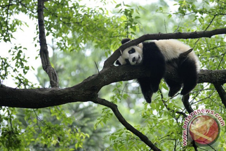 Wild pandas expand habitat in SW China