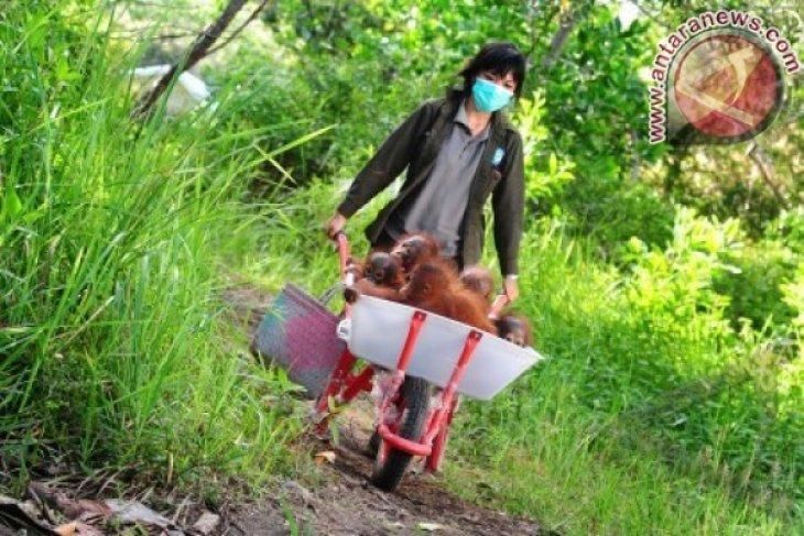 Habitat Orangutan Terancam