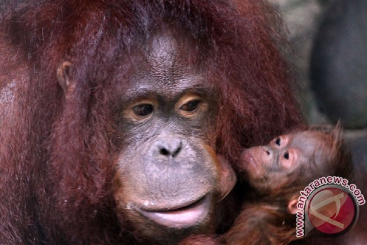 20 orangutans released into protected forest in Central Kalimantan