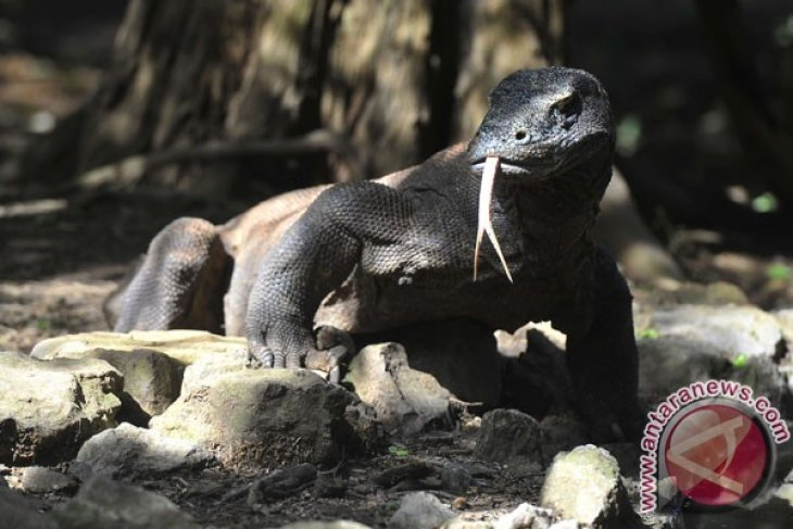 Komodo Dragon Park being renovated to receive IMF-WB meetings` participants