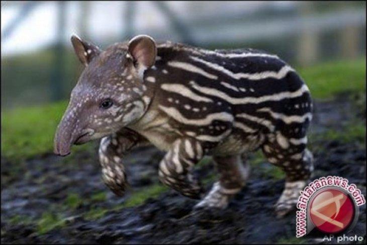 BKSD Jambi lepasliarkan tapir ke hutan adat