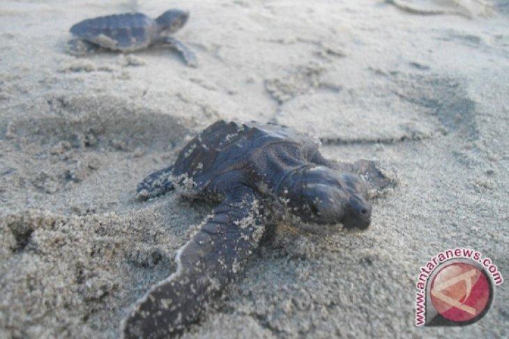 Pantai Kuta habitat penyu tambah daya tarik
