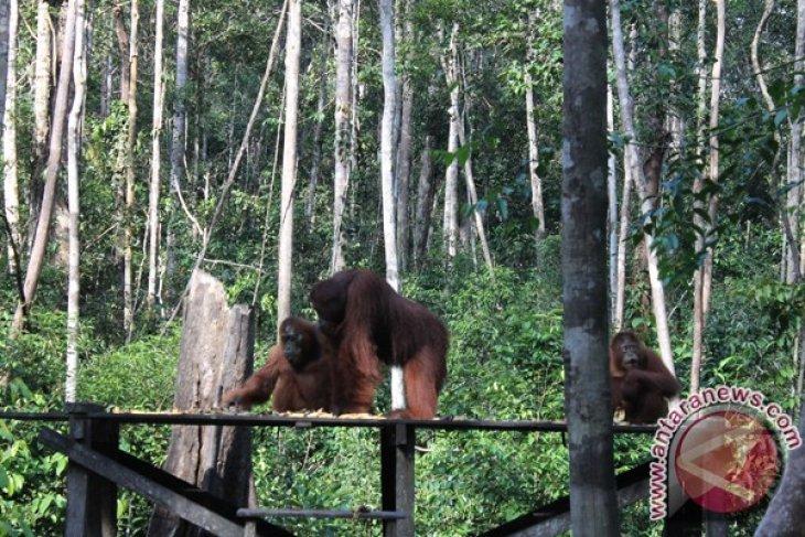 BOS releases 12 orangutans to natural habitat