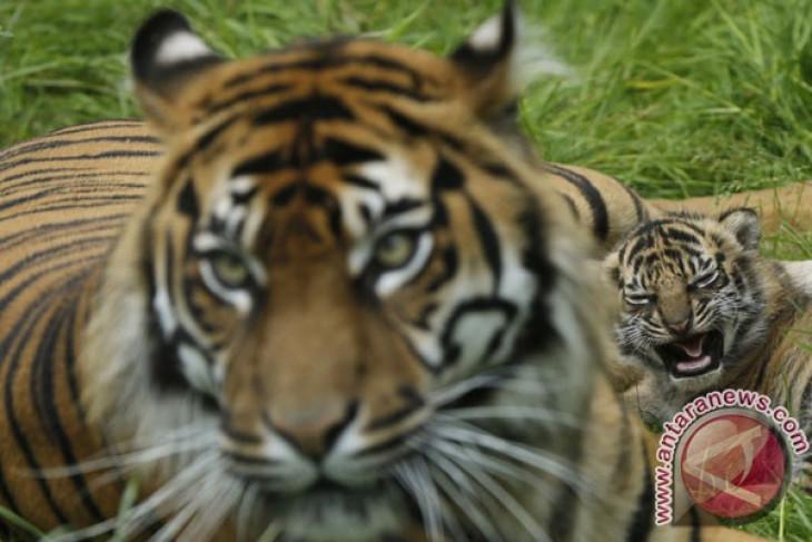 Bali Zoo hosts sumatran tigers