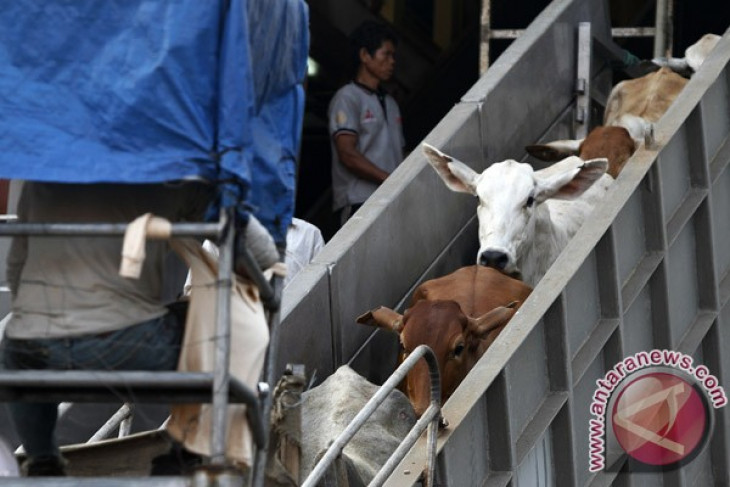 Australia awaits decision on cow import quota from Indonesia