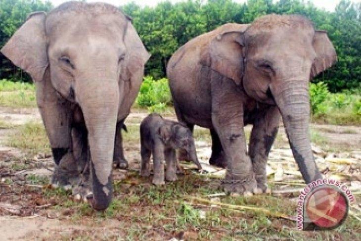 Gajah Tesso Nilo lahirkan bayi seberat 90 kilogram