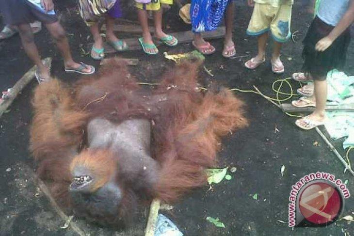 BKSDA Kalbar Belum Bisa Ungkap Tewasnya Orangutan Peniraman