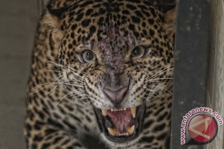 Rare Javan leopard spotted in Bromo Semeru National Park
