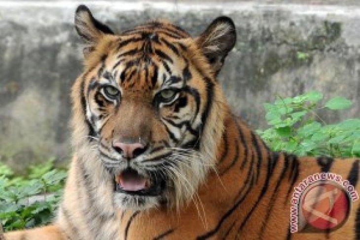 Harimau di Taman Rimba Jambi alami cidera kaki