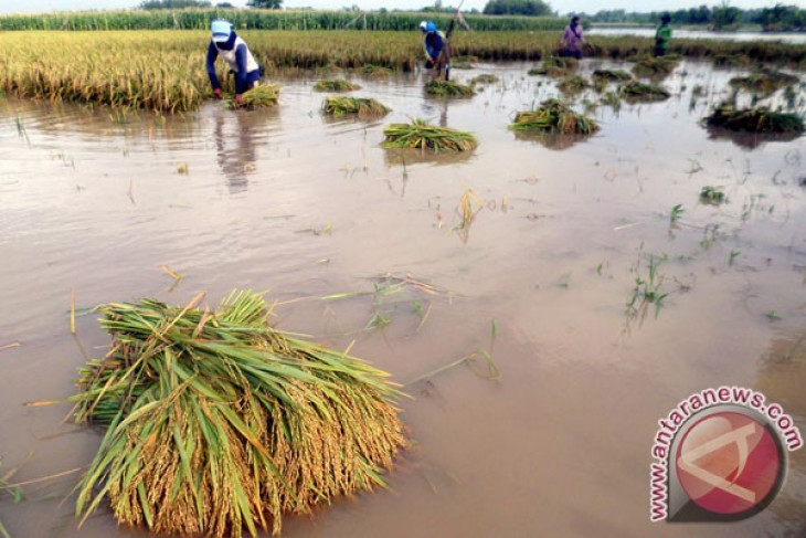 Indonesian govt still taking stock of flood-affected rice fields