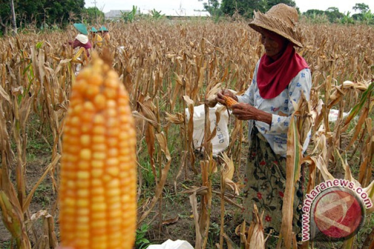 Agriculture minister reveals obstacles in absorbing domestic corn