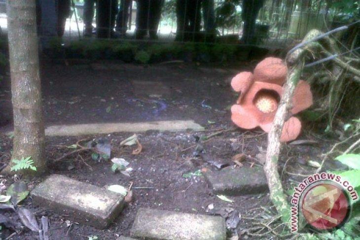 Tumbuhan langka bunga padma kembali mekar di Kebun Raya Bogor