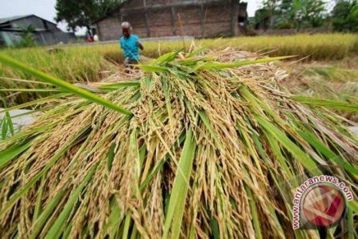 BPS Luas panen padi di Maluku 2020 naik
