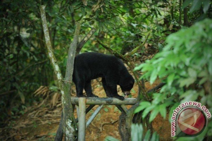 Pelestarian Beruang Terkecil di Dunia