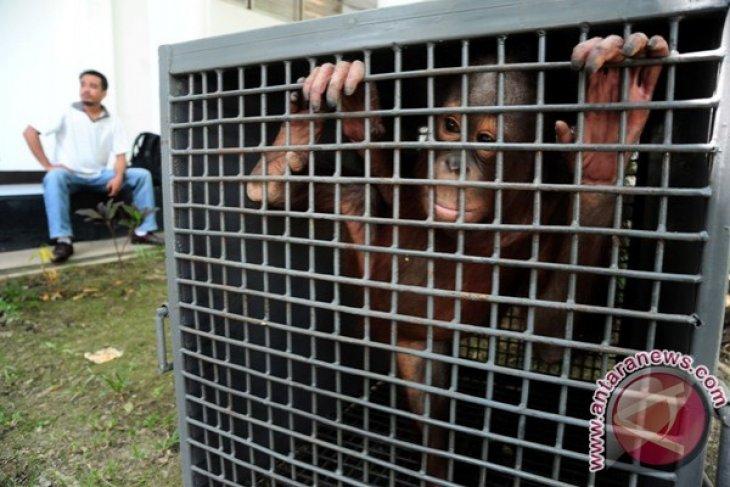 BKSDA Kalbar Amankan Orangutan