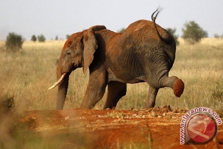 33.000 Gajah Afrika Dibunuh Setiap Tahunnya