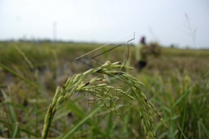 KTNA Banten Minta Petani Tingkatkan Produksi Beras