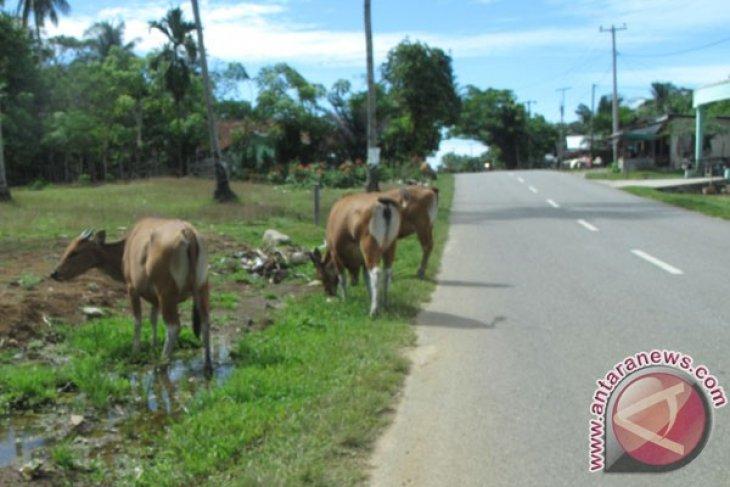 Hewan ternak kembali berkeliaran di jalan Mukomuko