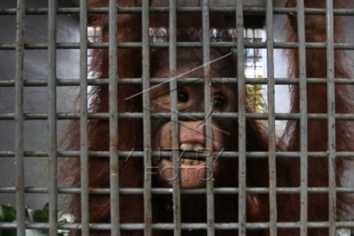 BKSDA Kalbar Evakuasi Orangutan