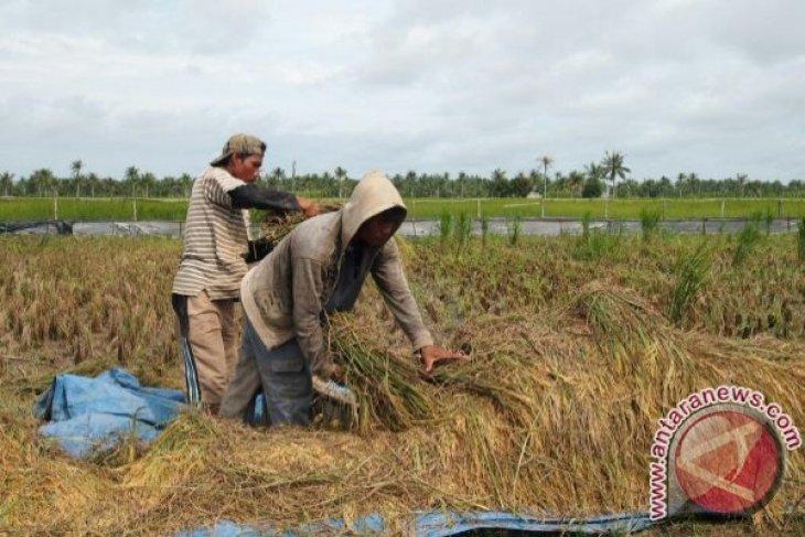 Kelompok Tani Ketapang Panen Padi Mekongga 15 Ton