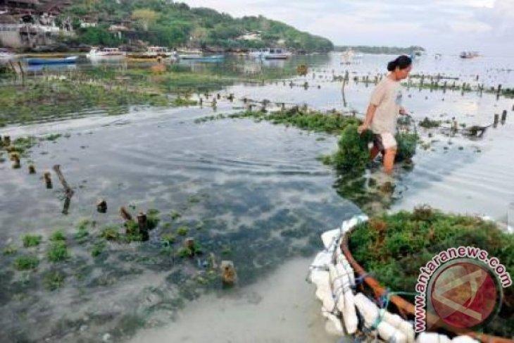 Budidaya Rumput Laut Perlu Pengawasan