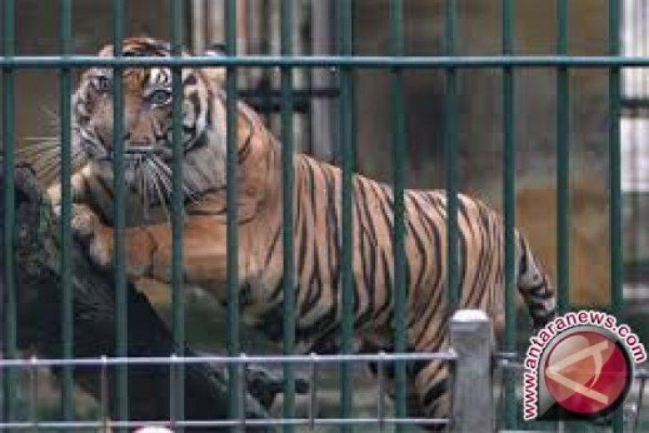 Polisi dan BKSDA pasang perangkap harimau