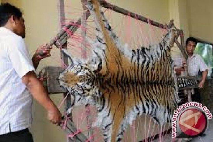 Seorang pemuda bawa kulit harimau ditangkap polisi