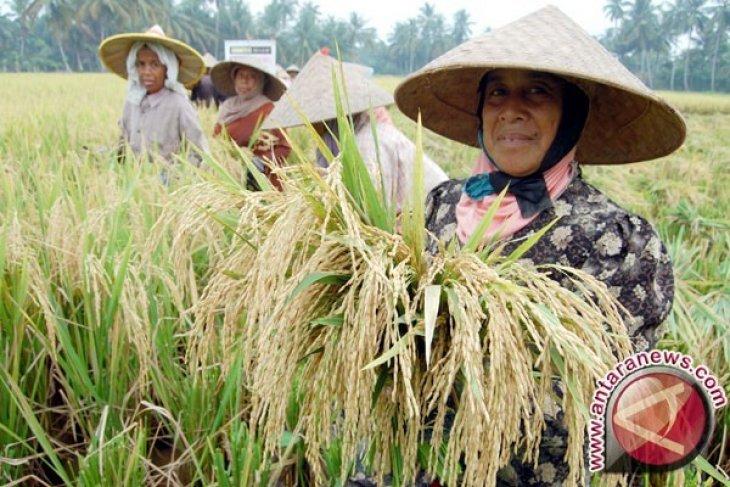 Petani di Abdya Kesulitan Mencari Buruh Panen