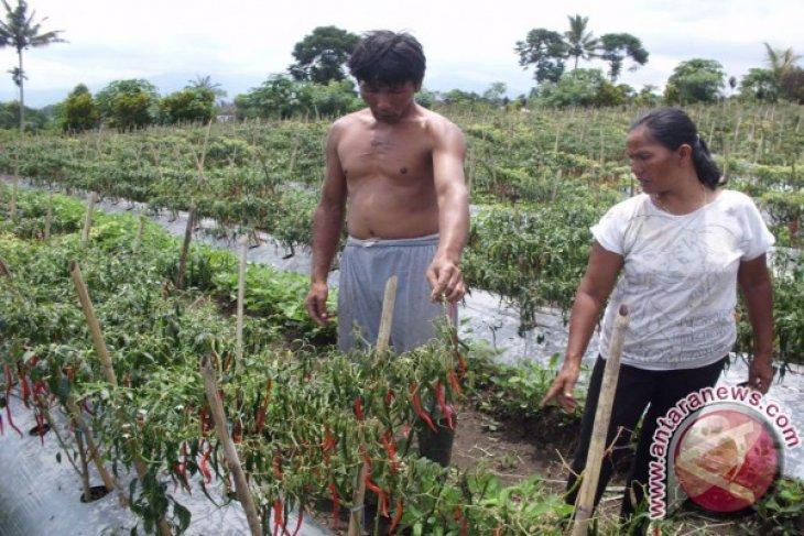 Petani cabai merah keluhkan serangan hama penyakit