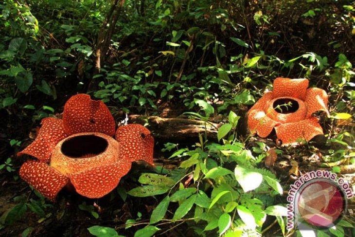 Rafflesia gadutensis di Kemumu jadi favorit wisatawan