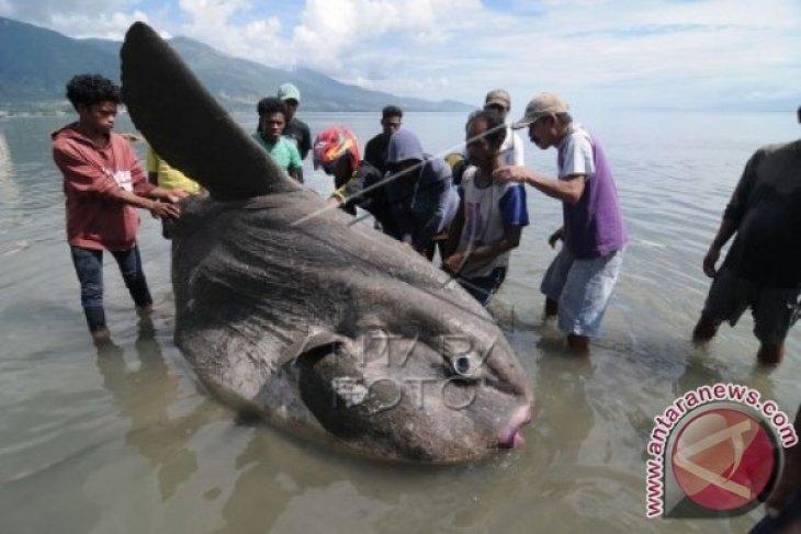 Ikan Matahari Raksasa Terdampar