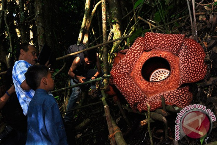 Two Rafflesia gadutensis bloom in N. Bengkulu