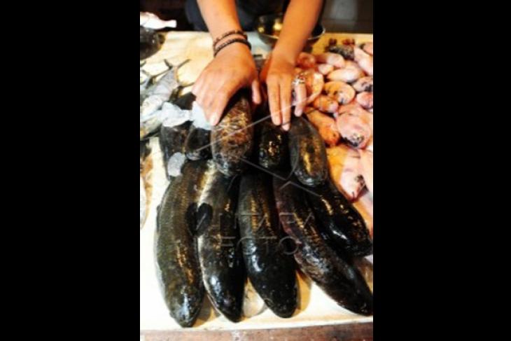 Ikan Gabus Obat Stroke