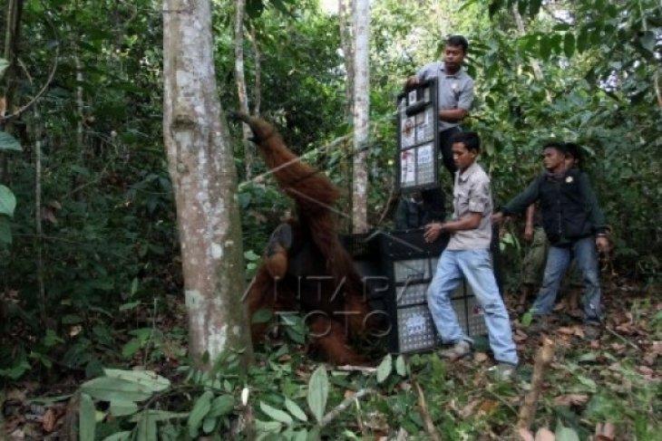 Proses Pemindahan Orangutan
