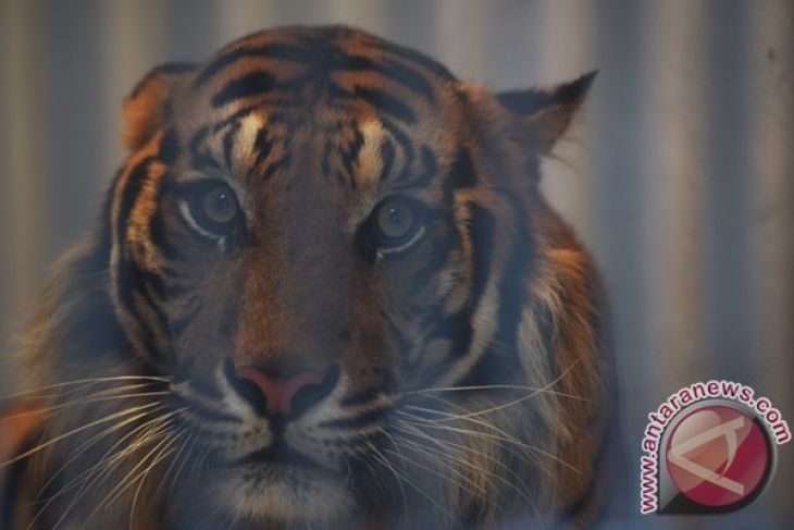 Earth Wire -- Poaching rate of Sumatran tiger remains alarming
