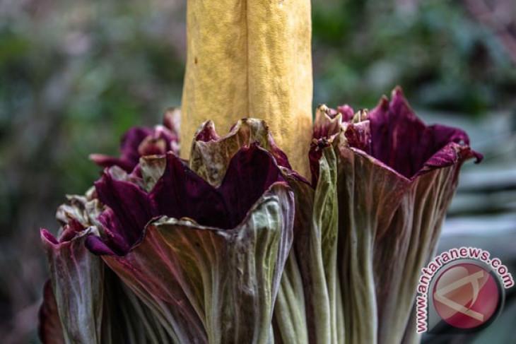 Corpse flower blooms in Bengkulu residents` breeding area