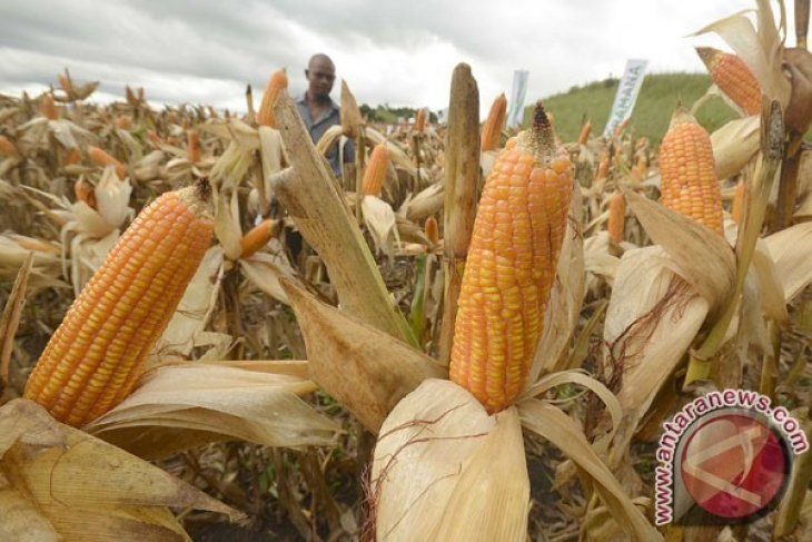 Produksi Jagung Kaltim Meningkat