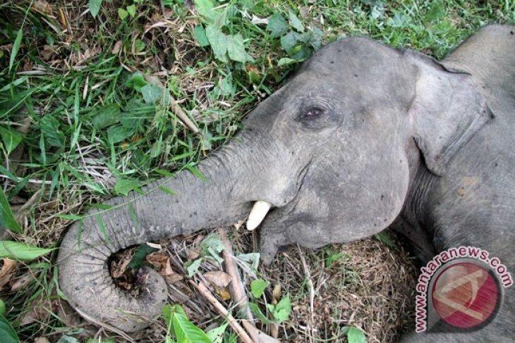 Gajah Sumatera Mati Di Aceh