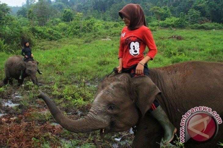 Konflik gajah-manusia akibat kerusakan lanskap Tesso Nilo