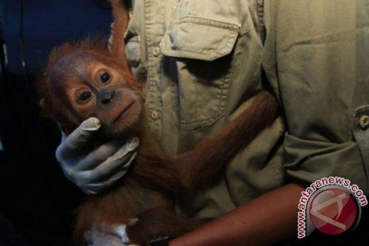 Penyitaan Bayi Orangutan Sumatera