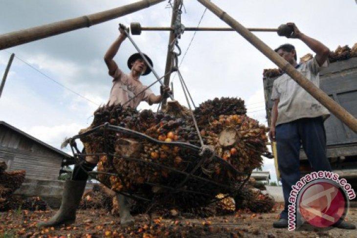 Harga tandan buah segar sawit di Batanghari stabil