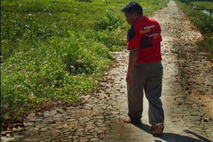 Belalang Kumbara Serang Petani Ketapang